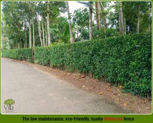 Natural Fencing methods - Hibiscus